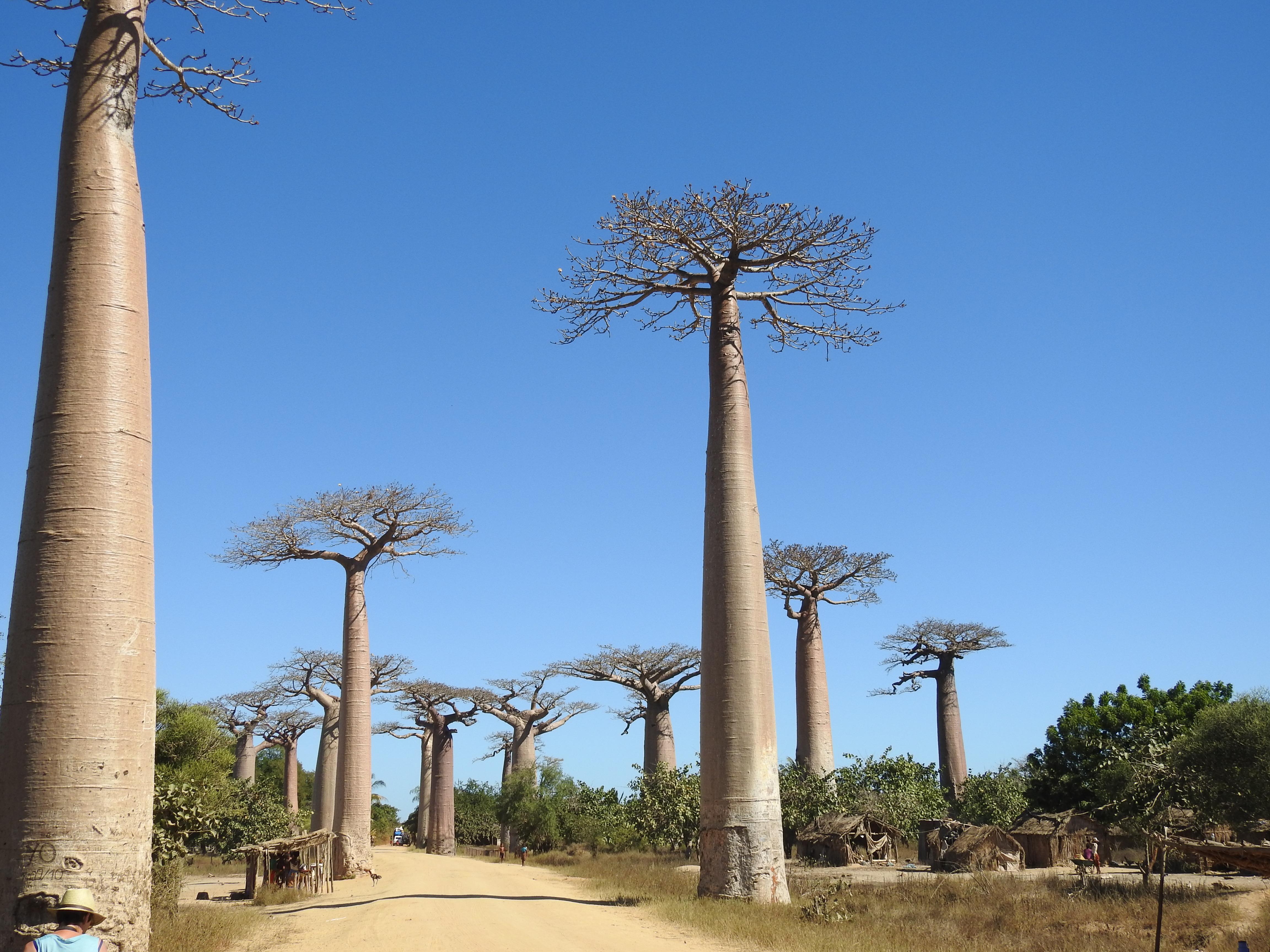 die berühmte Baobaballee in Morondava