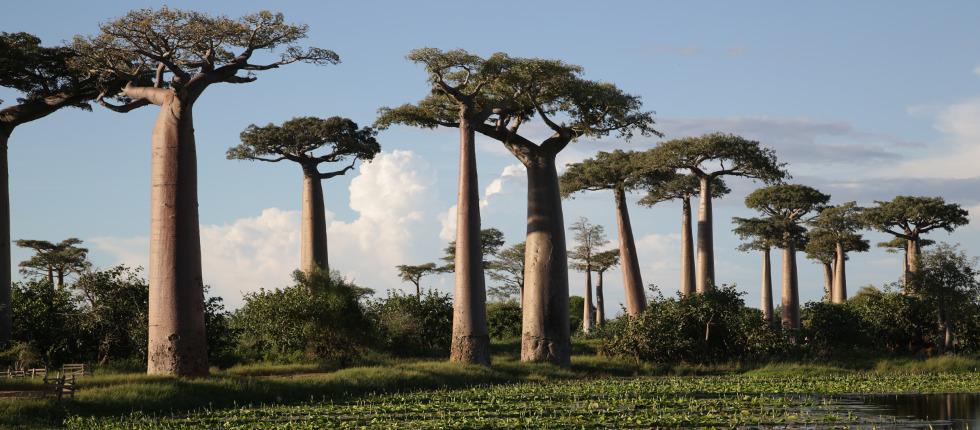 die weltweit einzigartige Baobaballée im Westen Madagaskars