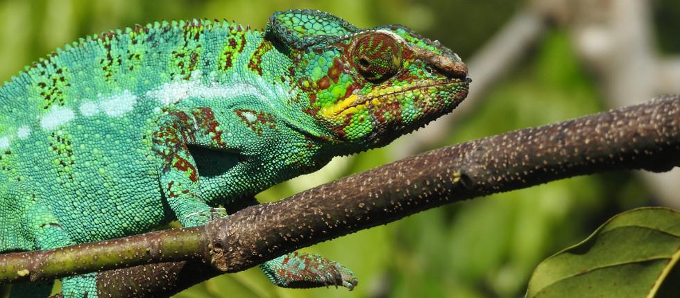 Pantherchamäleon im Regenwald Madagaskars
