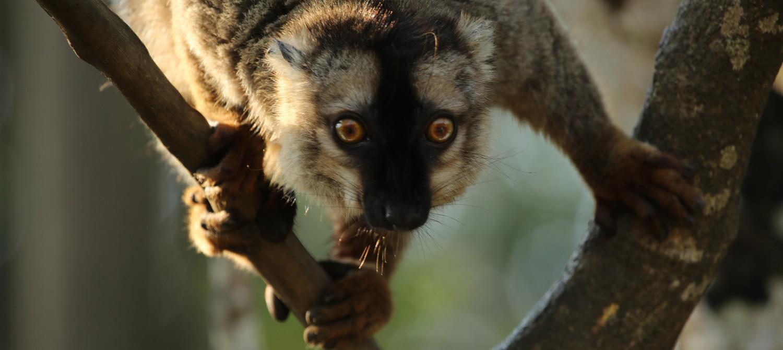 Braun-Lemuren