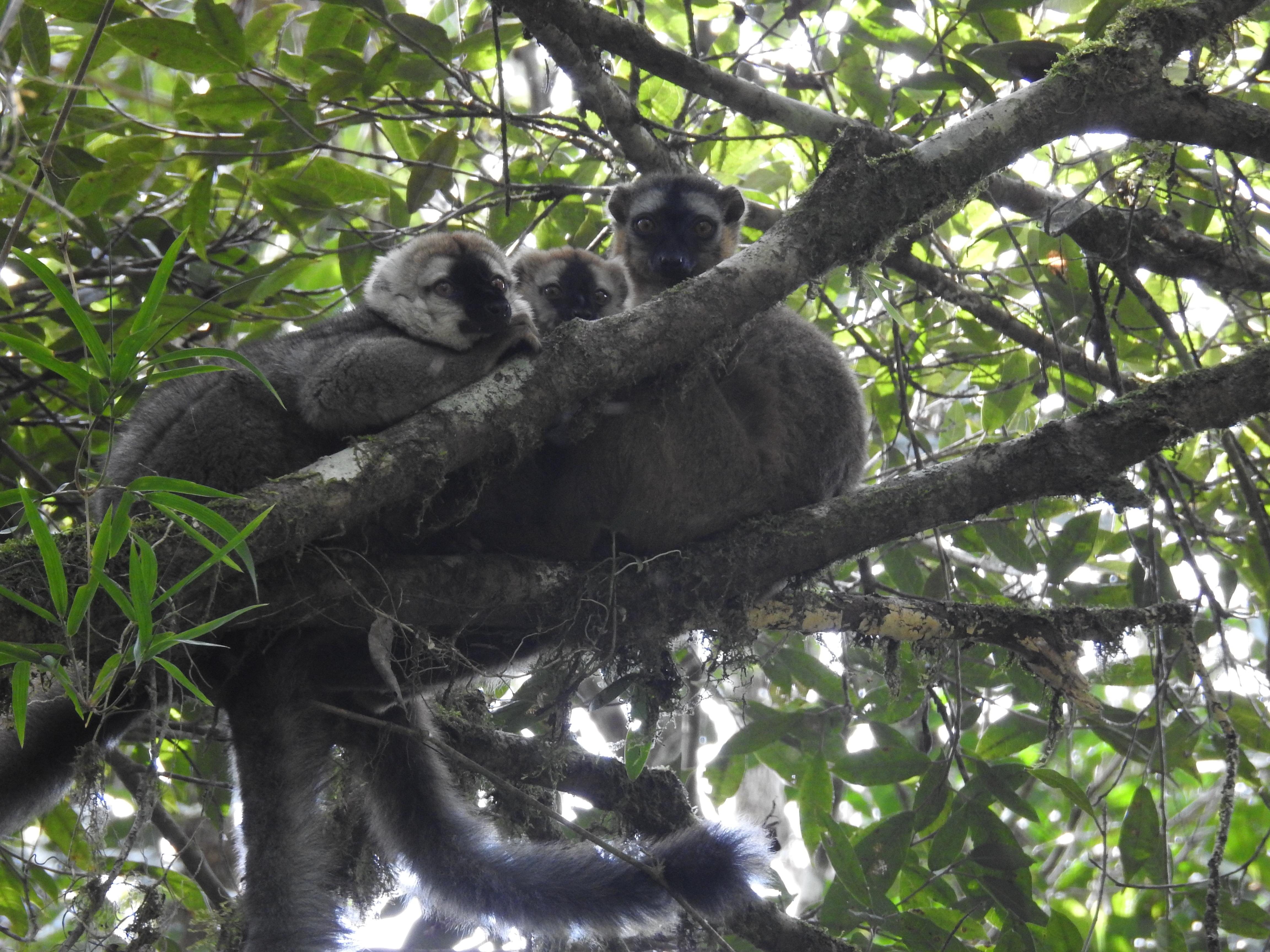 kuschelnde Lemuren hoch in den Bäumen im Nationalpark Ranomafana