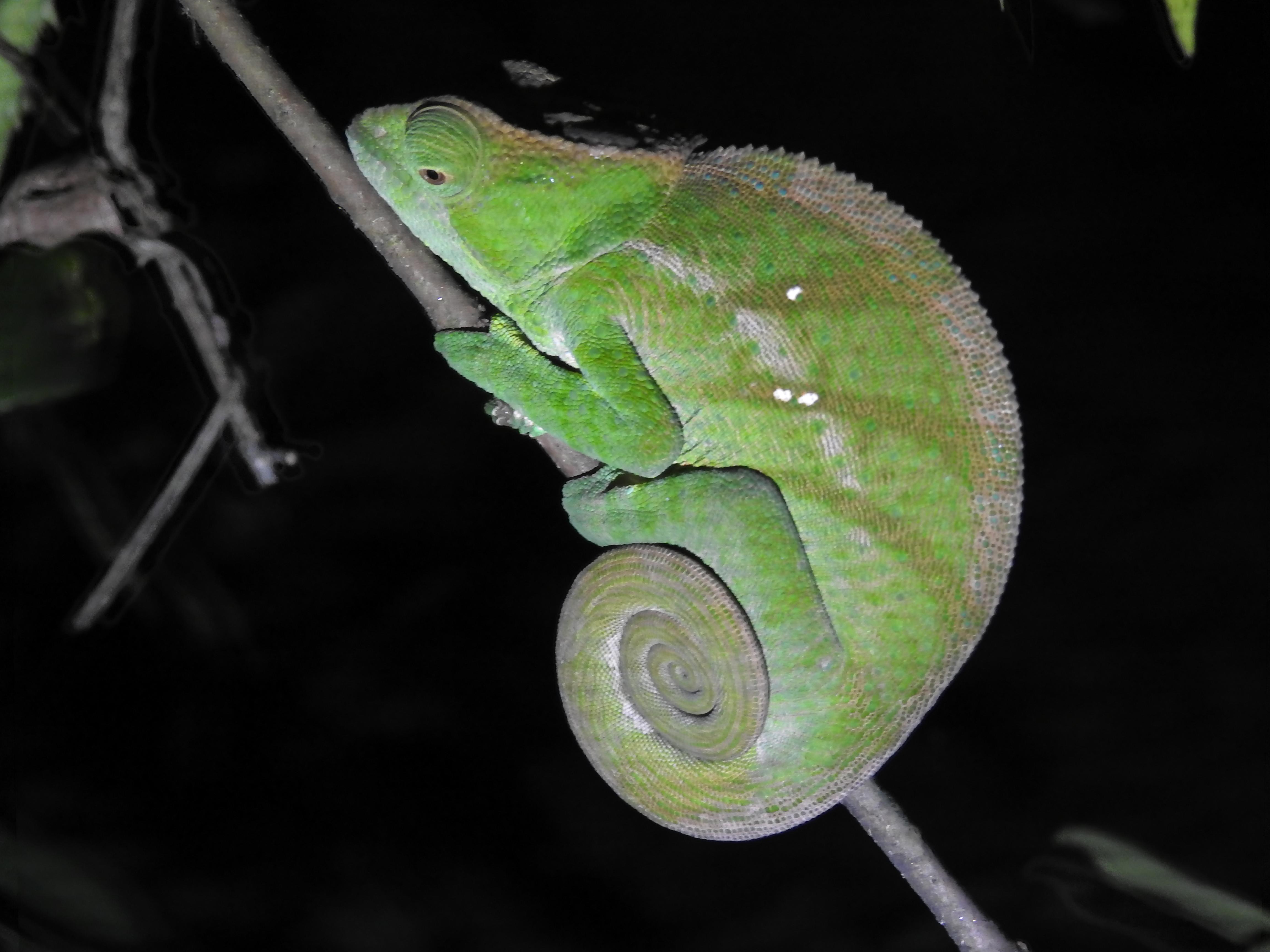 Chamäleon im Ranomafana Nationalpark bei der Nachtwanderung
