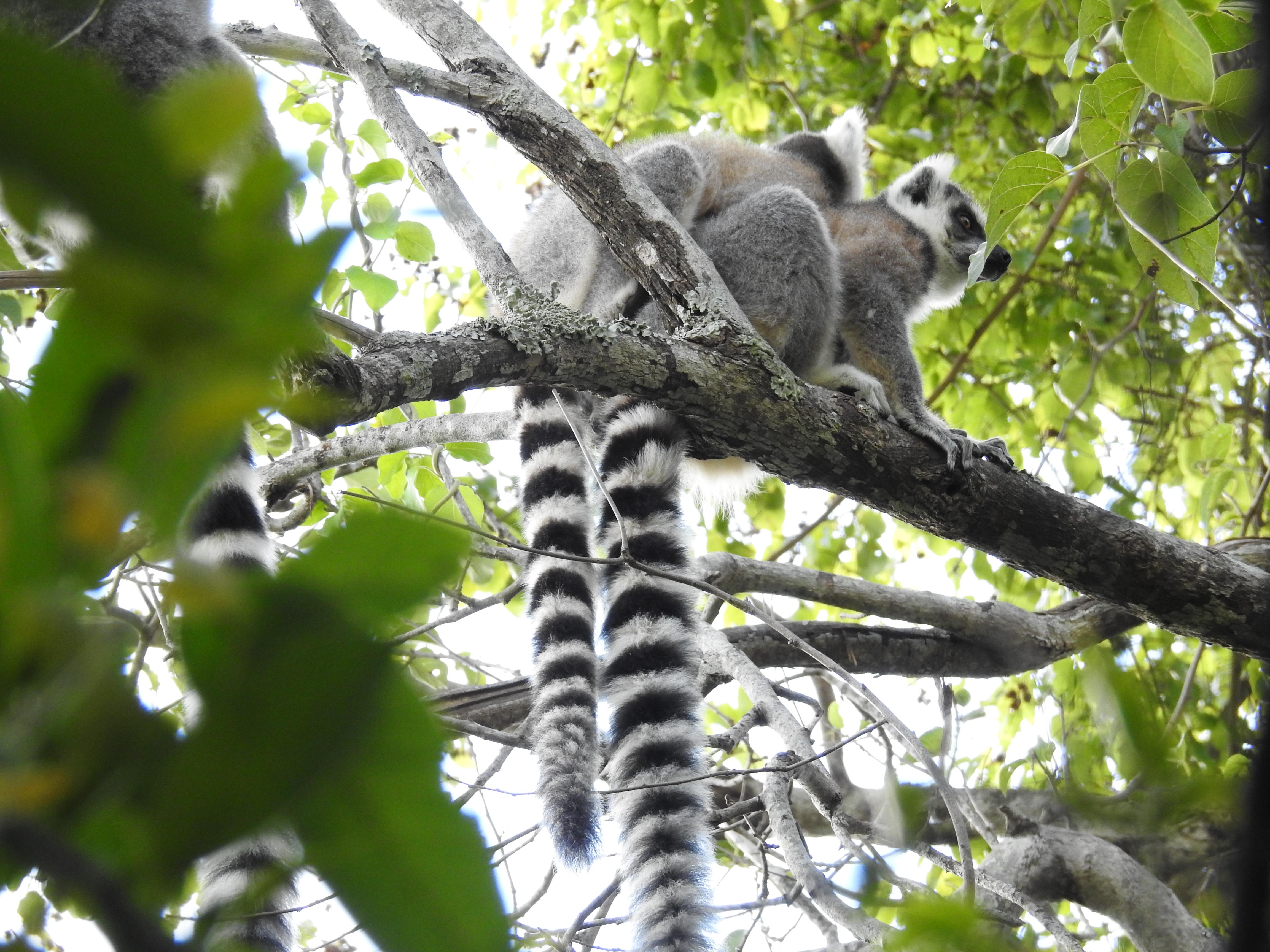 kuschelnde Kattas im Anja Lemuren Park