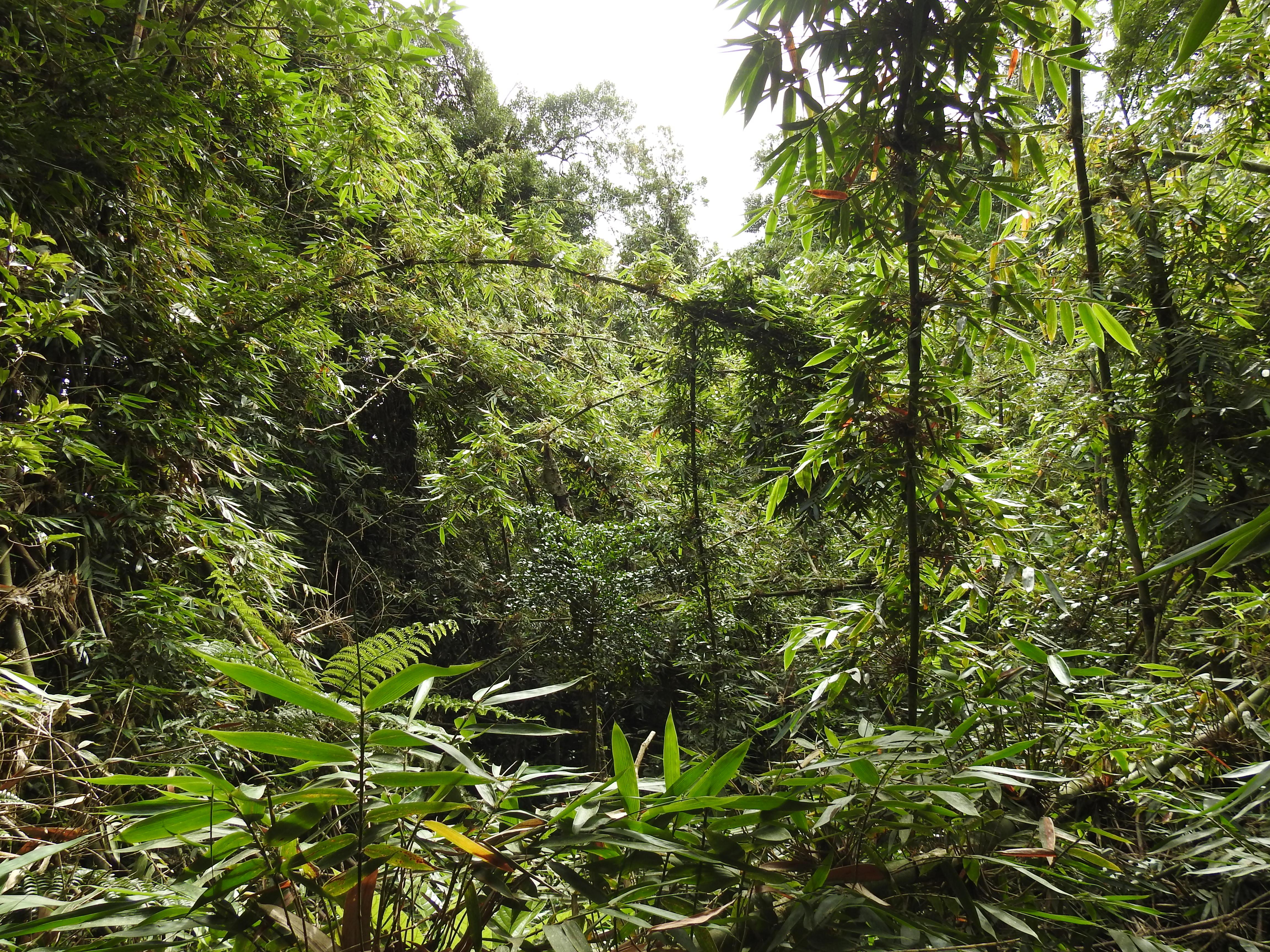 Ranomafana Nationalpark - Bambuswald