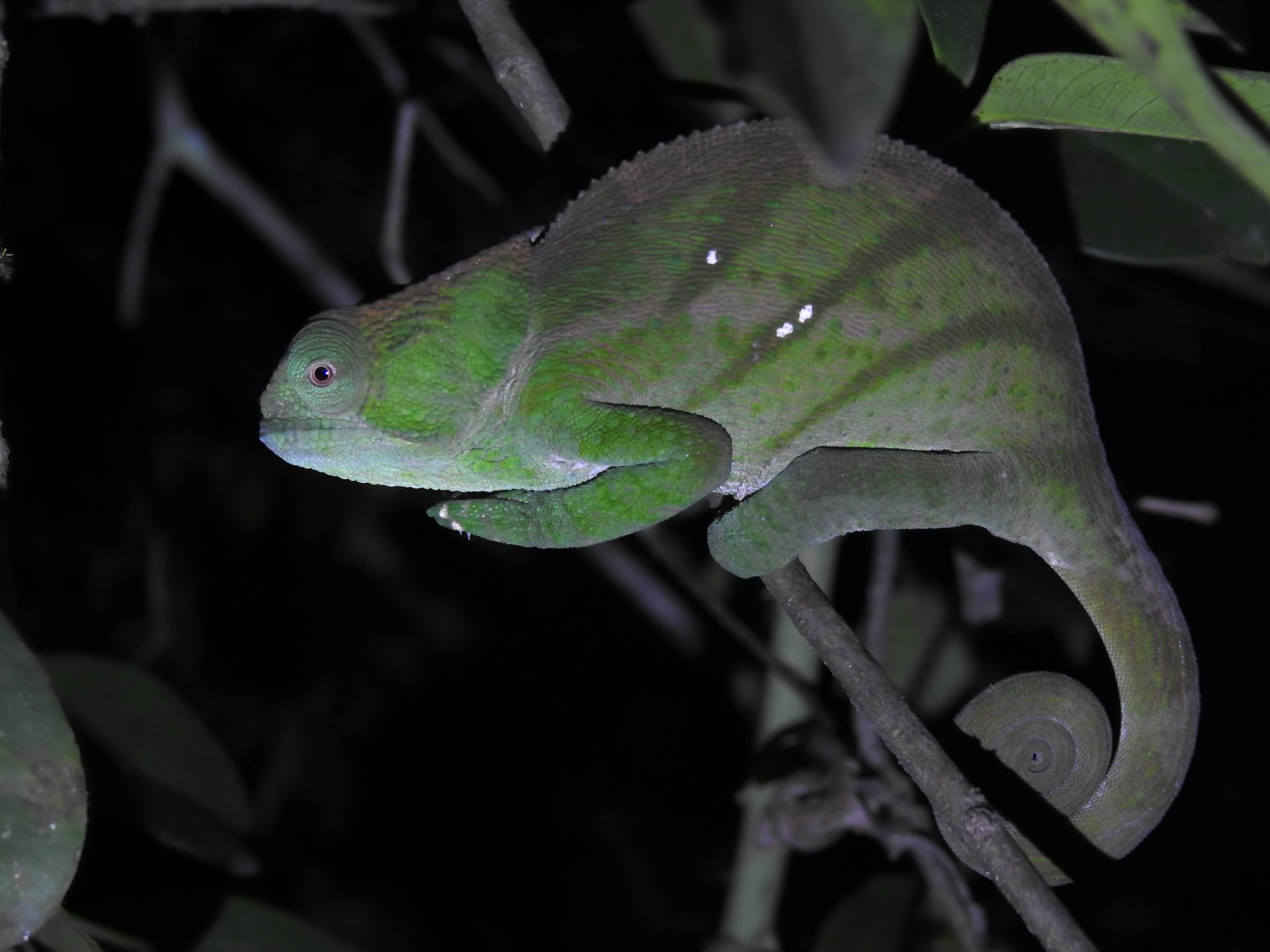 Chamäleon bei einer Nachtwanderung im Ranomafana Nationalpark