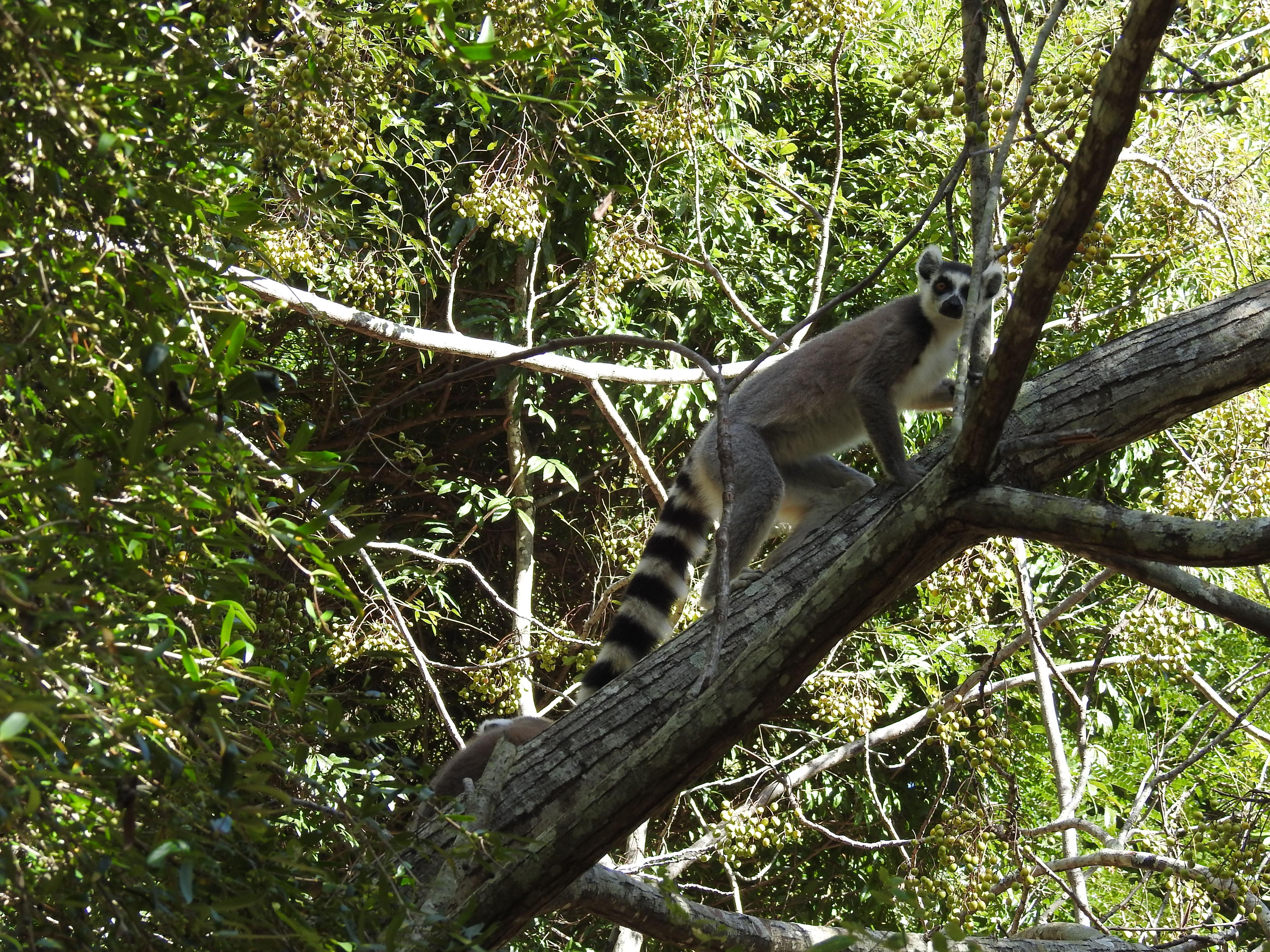 ein neugieriger Katta im Isalo Nationalpark