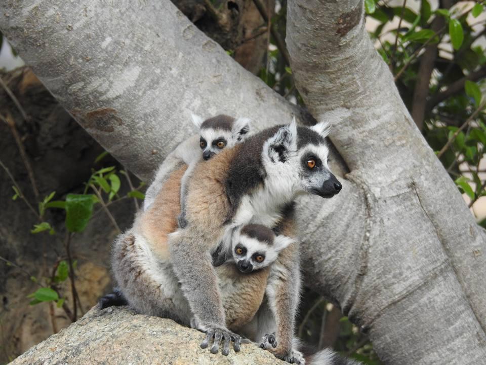 Katta-Lemur mit zwei Kindern